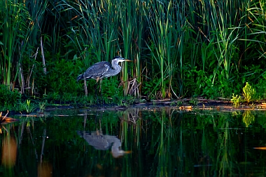 Great Blue Heron; Guest Editor: M. Zale